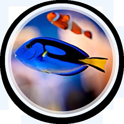 Blue Sergeonfish